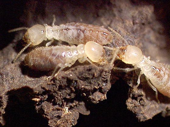 landes termites limination des termites arcachon michel destenave. Black Bedroom Furniture Sets. Home Design Ideas
