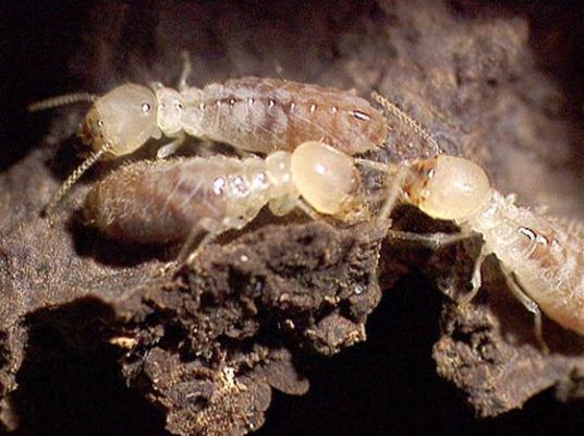 les termites c 39 est quoi comment vivent ils d sinsectisation termites arcachon. Black Bedroom Furniture Sets. Home Design Ideas